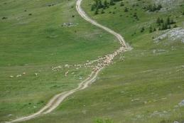 Ovce na Bjelašnici
