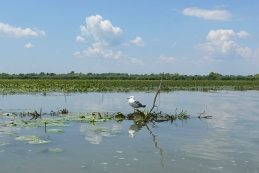Galeb v delti