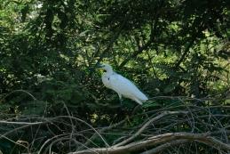 Mala bela čaplja