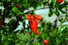 Cvet granatnega jabolka