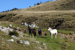 Konji na planini Zg. Dolga njiva