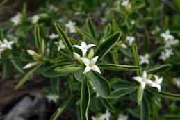 Cvet alpskega volčina