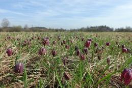 Polje močvirskih tulipanov