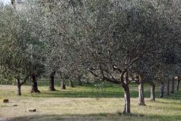 Mlajša drevesa