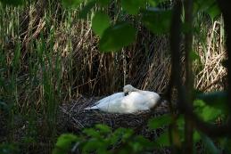 Samička laboda