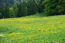 Cvetoči regrat na Potoški planini
