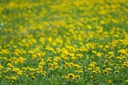 Regratovi cvetovi