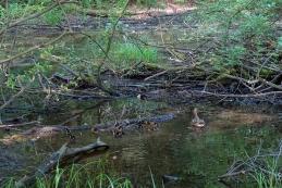 """Prvo """"srečanje"""" z malimi račkami v plitvi vodi poplavnega gozda."""