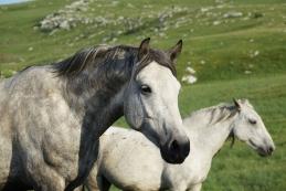Divji konji nad Livnim