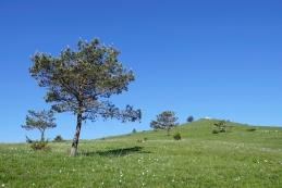 Borova drevesa pod Ostričem