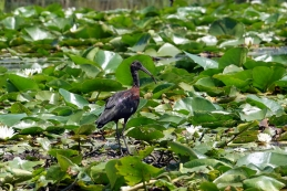 Črni ibis