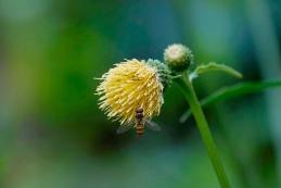 Zimska trepetavka na cvetu lepkega osata