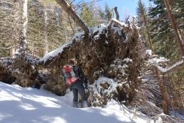 Podrto drevje nad Jenkovo planino