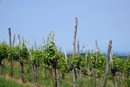 Spet med vinogradi