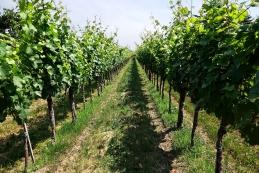 Med vinogradi
