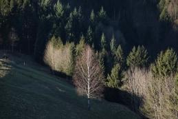 Obsijana breza