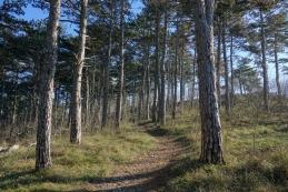 Skozi borov gozd