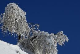 Macesni okovani v led...