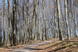 Skozi bukov gozd