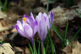 Pomladanski žafran