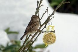 Domači vrabec - samica