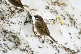 Poljski vrabec
