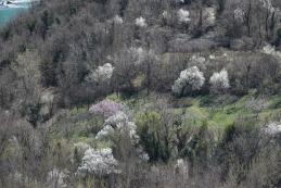 Češnje cvetijo