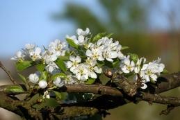 Cvetoča hruška