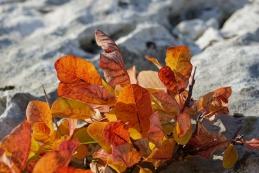 Ruj z rjavimi listi