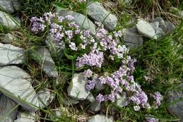 ...se tu pa tam najdejo cvetoče oaze - pirenejski kamnokras
