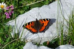 In tam, kjer je cvetje, tam so metulji - mali koprivar